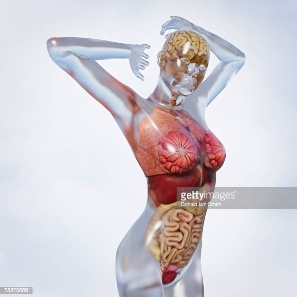 organs in transparent woman - human liver stock photos and pictures