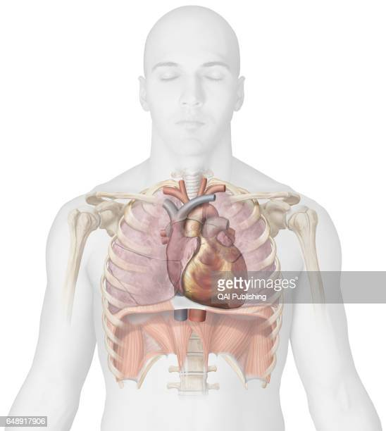 Diaphragm Body Part Stock Photos And Pictures Getty Images