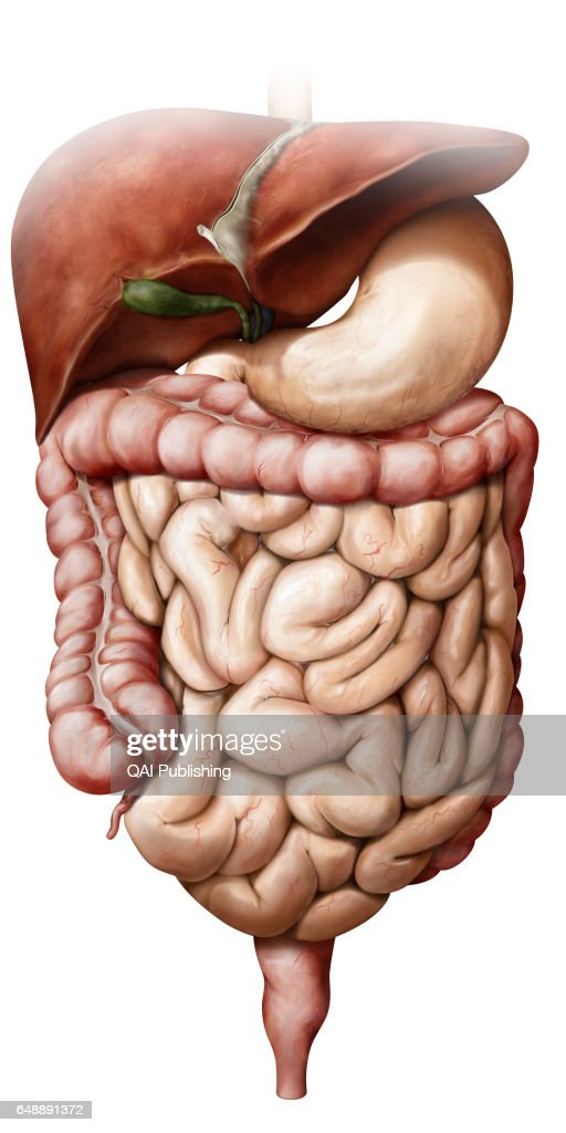 Organs of the digestive system Pictures | Getty Images