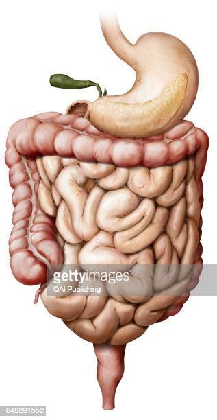 Organs of the digestive system System formed by the mouth the digestive tract and its glands that uses mechanical action enzymes or secretions to...