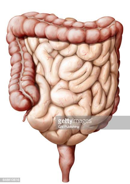 Organs of the digestive system This images shows the large intestin the small intestin the vermiform appendix and the rectum