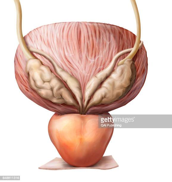 Organs of the male urinary system This image shows the urinary bladder the ureter and the prostate