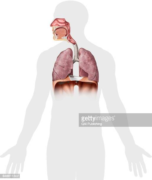 Epiglottis Stock Photos And Pictures Getty Images