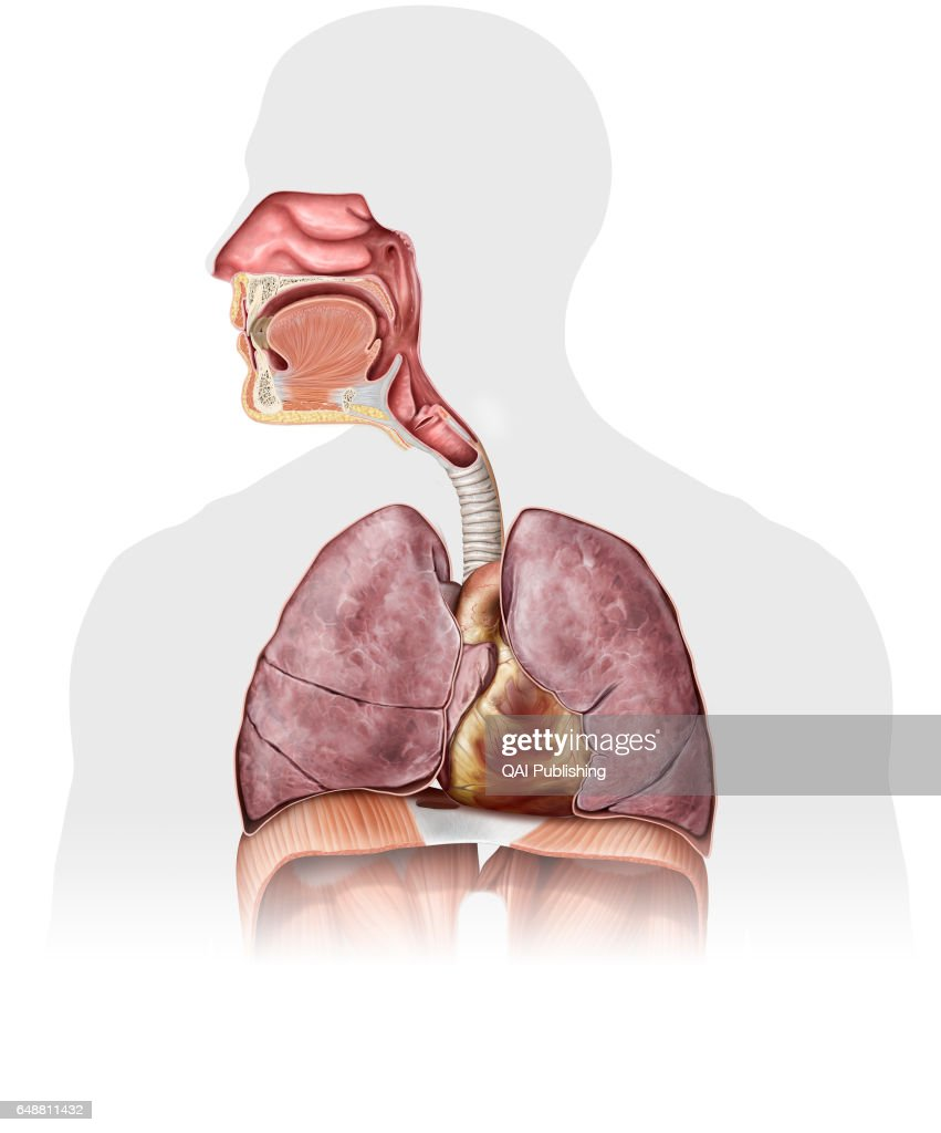 Organs of the upper body pictures getty images organs of the upper body this image shows the nasal cavity the epiglottis ccuart Choice Image