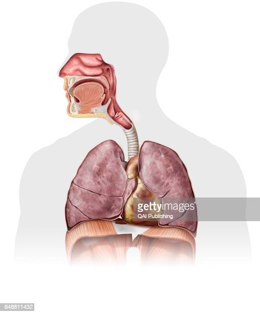 Nasal Cavity Stock Photos And Pictures Getty Images