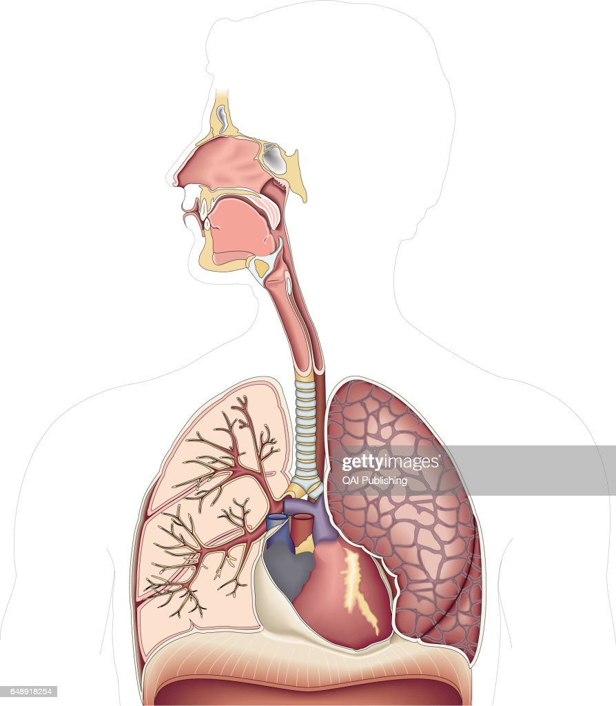 Organs of the upper body pictures getty images organs of the upper body this image shows the nasal cavity the paranasal sinuses ccuart Gallery