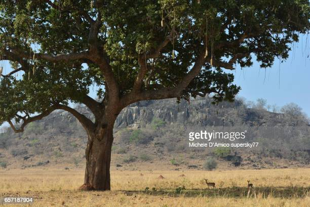 Oribi antelopes resting in the shade of a big sausage tree in the savannah