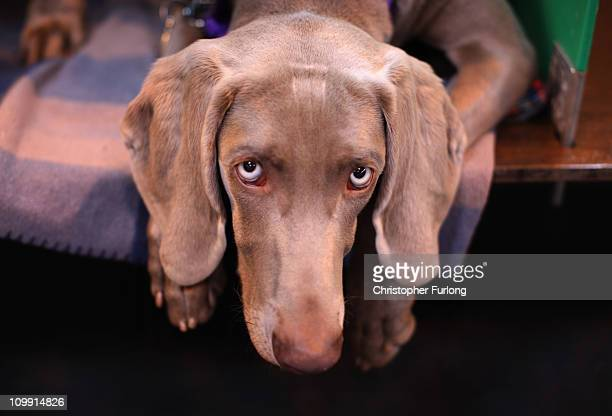 Oriel the Weimaraner waits for his turn in the parade ring on the first day of the annual Crufts dog show Gun Dogs section at the National Exhibition...