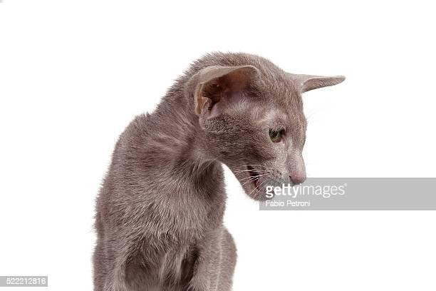 oriental cat - oriental shorthair - fotografias e filmes do acervo