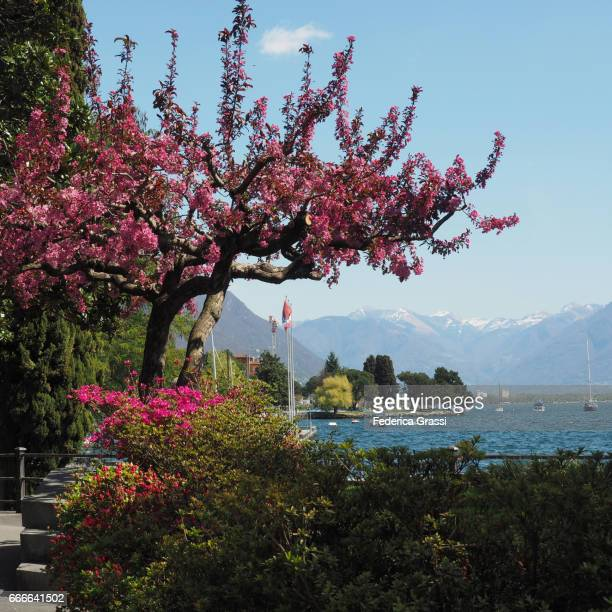 oriental cherry tree or east asian cherry (prunus serrulata) - locarno stock photos and pictures