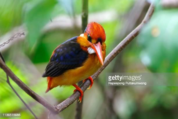 Oriental Dwarf Kingfisher Ceyx erithaca Beautiful Birds of Thailand