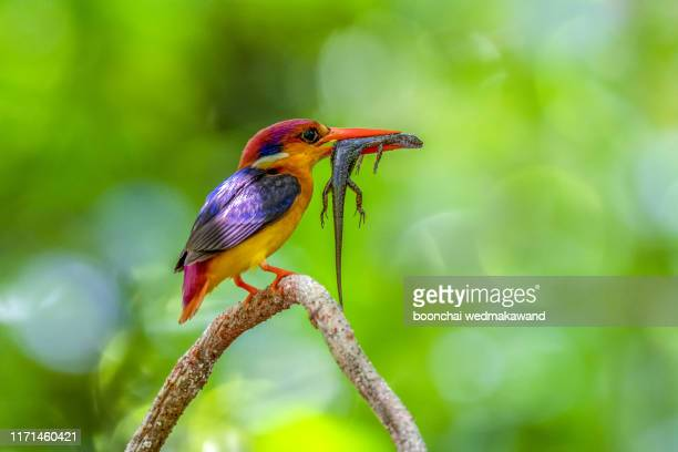 oriental dwarf kingfisher or odkf scientific name ceyx erithaca with a kill of a juvenile rock agama to feed its fledglings - black dwarf stock pictures, royalty-free photos & images