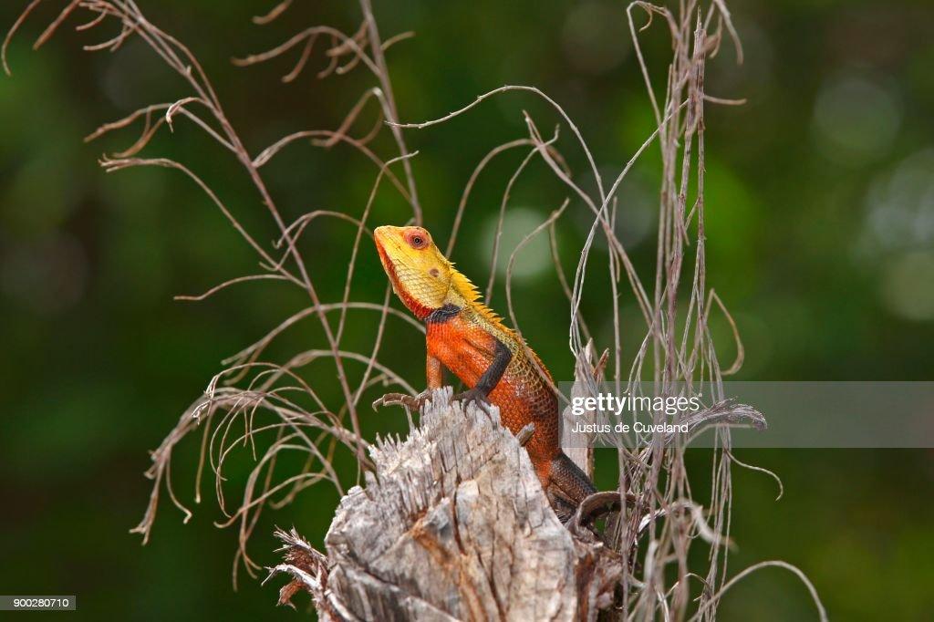 Oriental Garden Lizard (Calotes Versicolor), Male During Mating Season,  Maldives : Stock