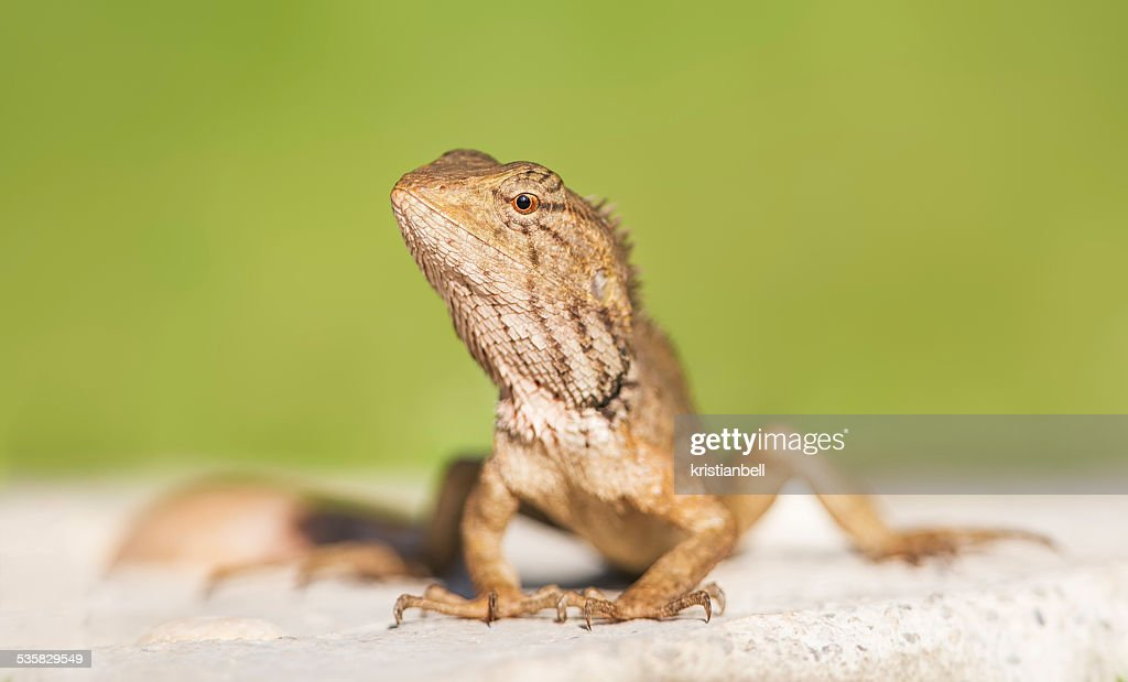 Oriental Garden Lizard (Calotes Versicolor), Thailand : Stock Photo