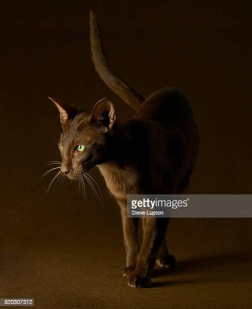 oriental havana cat - oriental shorthair - fotografias e filmes do acervo