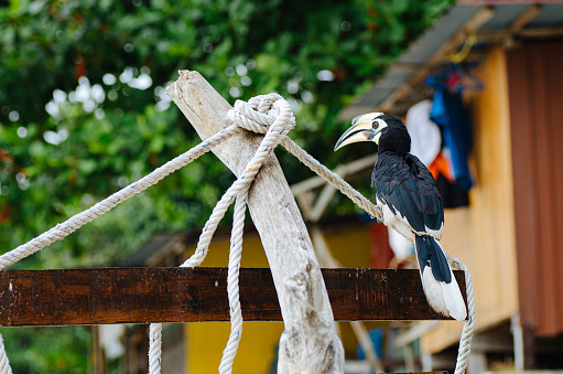 Oriental hornbill (Anthracoceros albirostris) freely live in nature is one of an attraction at Pangkor Island, Malaysia 1221144804