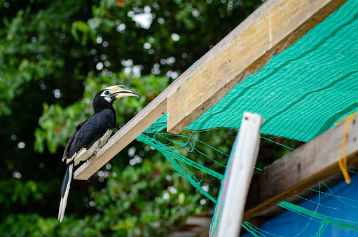 Oriental hornbill (Anthracoceros albirostris) freely live in nature is one of an attraction at Pangkor Island, Malaysia 1221144812
