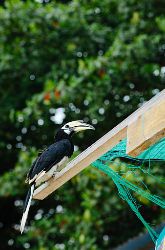 Oriental hornbill (Anthracoceros albirostris) freely live in nature is one of an attraction at Pangkor Island, Malaysia 1221144814