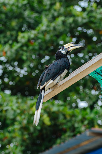 Oriental hornbill (Anthracoceros albirostris) freely live in nature is one of an attraction at Pangkor Island, Malaysia 1221144830