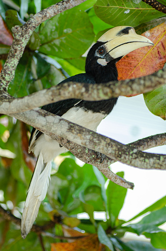 Oriental hornbill (Anthracoceros albirostris) freely live in nature is one of an attraction at Pangkor Island, Malaysia 1221144837