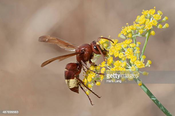 Oriental Hornet -Vespa orientalis- foraging for nectar on a Smyrnium plant -Smyrnium rotundifolium-, Rhodos Island, Dodecanese, Greece