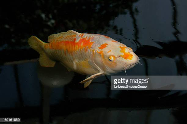 Oriental Koi Carp Swimming Freely Inside A Large Indoor Freshwater Pool