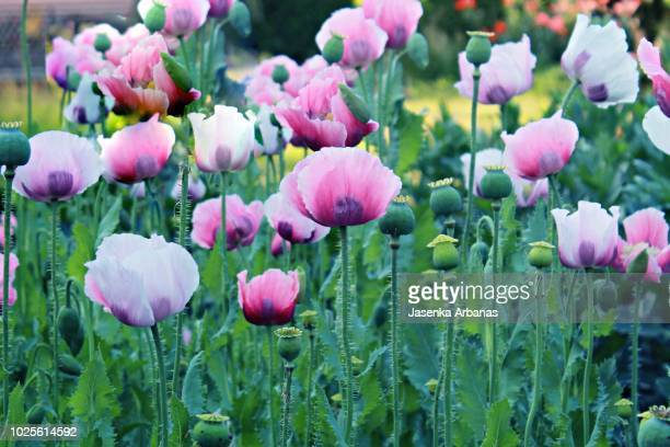oriental poppies - oriental poppy stock pictures, royalty-free photos & images