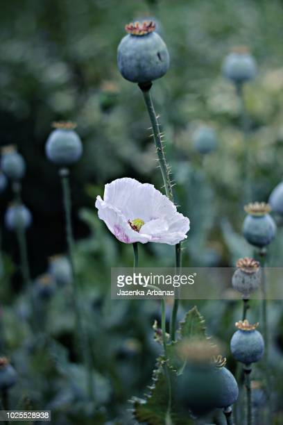 Poppy Seed Pods Stock Pictures Royalty Free Photos Images