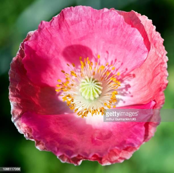 oriental poppy - arthur foto e immagini stock