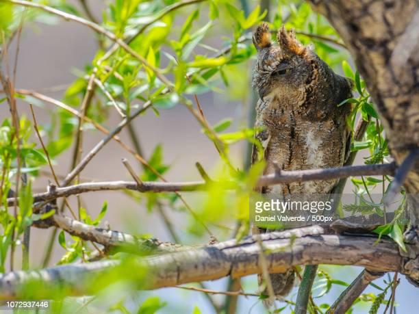 oriental scops owl - nightjar stock photos and pictures