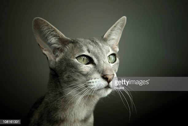 oriental shorthair cat - whisker stock pictures, royalty-free photos & images