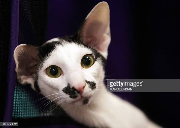 """Oriental shorthair """"Domino"""" rests in his cage 19 August 2007 during The International Cat Association 2007 South Regional Championship and Cat Show..."""