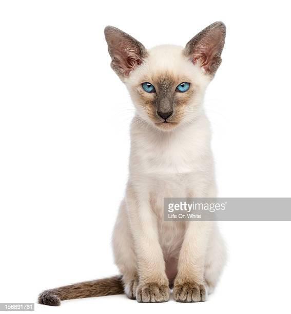 oriental shorthair kitten sitting and looking - oriental shorthair - fotografias e filmes do acervo