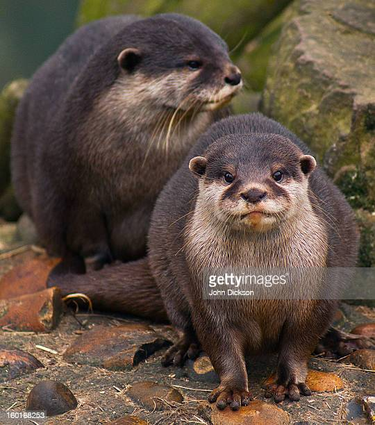 Oriental Small Claw Otters