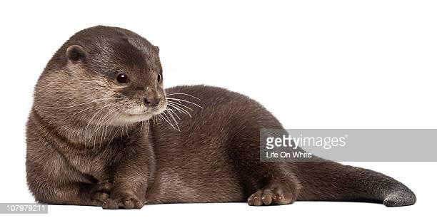 oriental small-clawed otter - amblonyx cinereus - lontra imagens e fotografias de stock