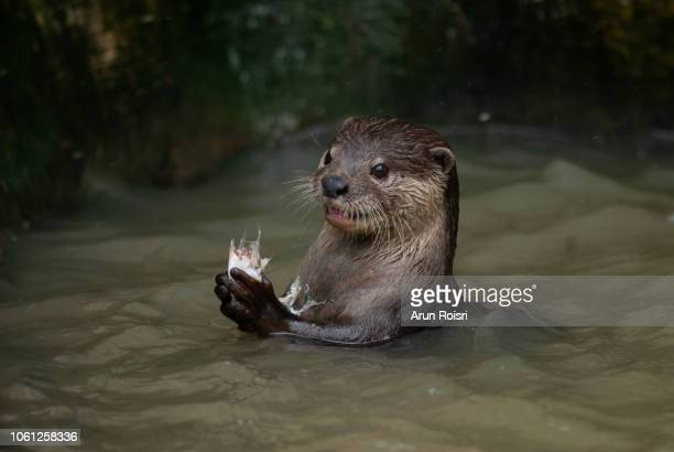 oriental small-clawed otter, asian small-clawed otter : aonyx cinereus - carnívoros fotografías e imágenes de stock