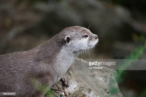 Oriental small-clawed otter, headshot