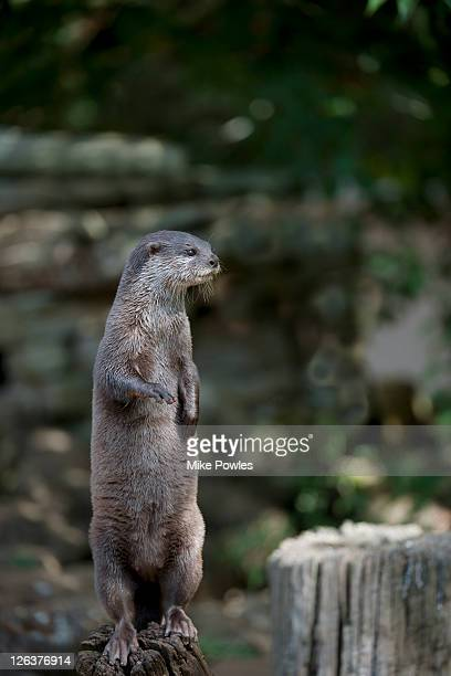 Oriental Small-clawed Otter (Aonyx cinerea) standing on log, United Kingdom