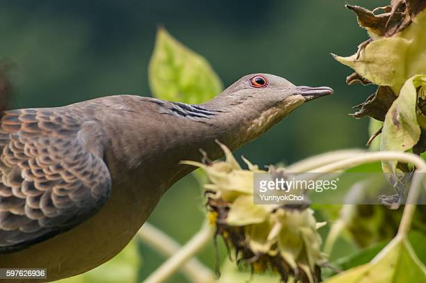 oriental turtle dove - turtle doves stock photos and pictures
