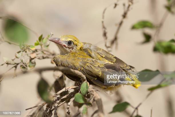 Oriole chick on branch