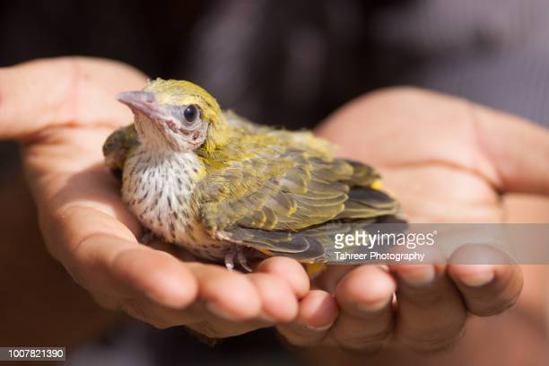 Oriole chick on human hands