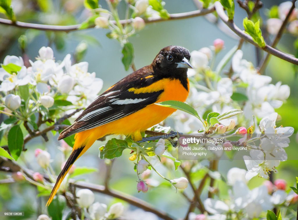 Oriole in Spring Flowers at Babylon, Long Island : Stock Photo
