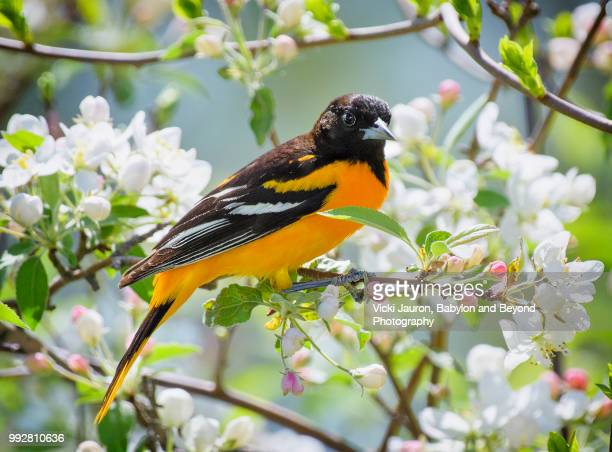 Oriole in Spring Flowers at Babylon, Long Island