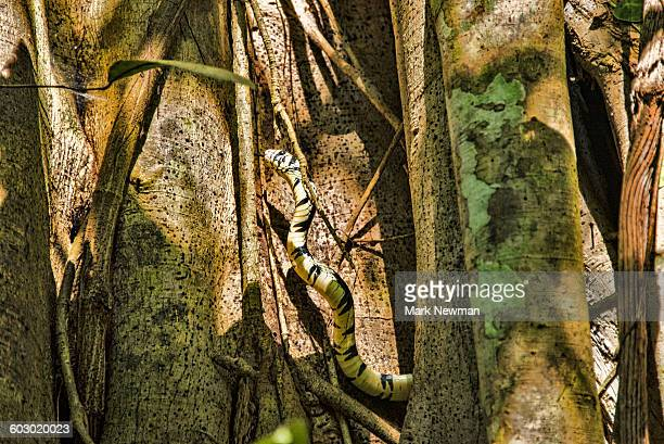 oriole snake - chicken snake stock pictures, royalty-free photos & images