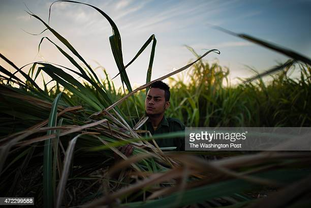 Orlando Hernandez carries cut sugarcane to his horse pulled wagon in a cane field in Camilo Cienfuegos which was once the town of Hershey Hernandez...