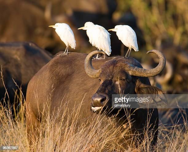 Ornamental Buffalo