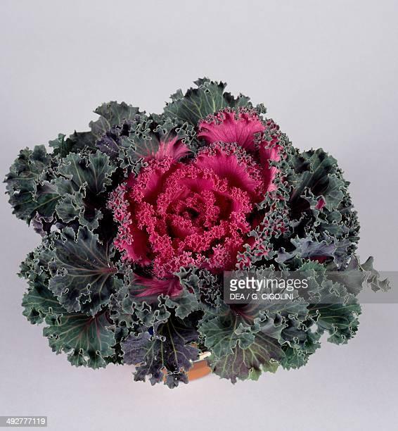 Ornamental cabbage Brassicaceae