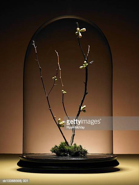 ornamental cherry tree branches with buds under glass dome - dome stock pictures, royalty-free photos & images