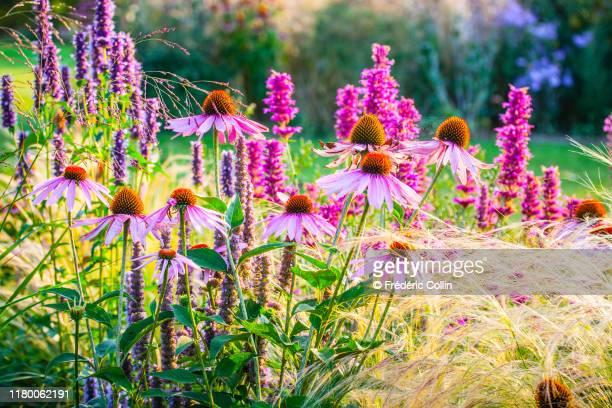 ornamental garden with mixed borders - bloemhoofd stockfoto's en -beelden