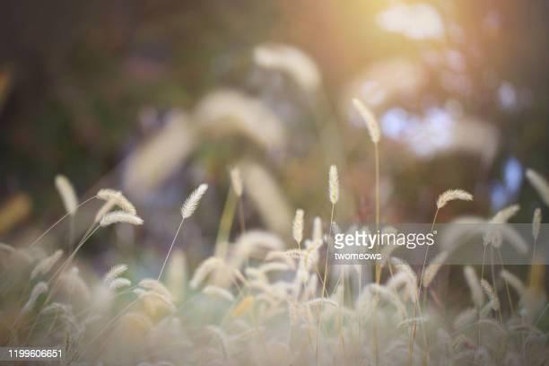 ornamental grasses for autumn colour in the garden. - 自然 ストックフォトと画像